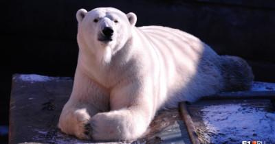 В Екатеринбургском зоопарке умер белый медведь Умка