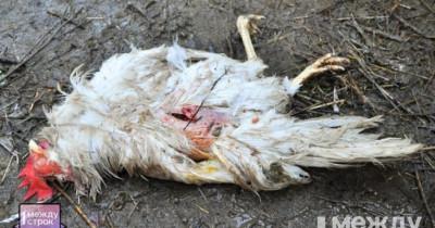 «С кровавого месива началось наше утро». В Нижнем Тагиле стая бродячих собак загрызла 13 кур