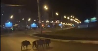 В Нижнем Тагиле житель Гальянки снял на видео бегающих по дороге кабанов