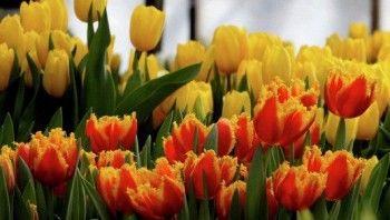 В Россию запретят ввозить голландские цветы без экспертизы