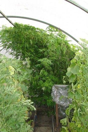 В Нижнем Тагиле садовод в теплице вырастил 12 килограммов конопли