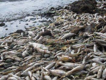 Берега Черноисточинского пруда усеяны горами мёртвой рыбы (ФОТО)
