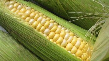 Россия запретила ввоз кукурузы и сои из США
