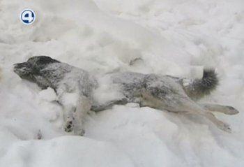 Убили 21 собаку и бросили вдоль трассы: работающую в Нижнем Тагиле фирму по отлову собак подозревают в негуманном уничтожении животных