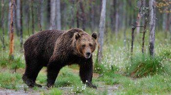 В Серове по улицам гуляет медведь. Власти выступили со спецобращением