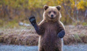 На Камчатке выпустят комикс о правилах поведения при встрече с медведем