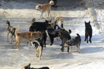 В Нижнем Тагиле бродячие собаки напали на женщину с ребёнком и загрызли той-терьера