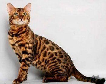 В Нижнем Тагиле воры украли 2,5 миллиона рублей и бенгальского кота