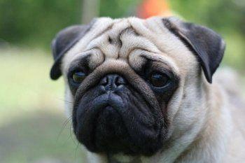«Аэрофлот» отказывается перевозить собак с короткой и приплюснутой мордой