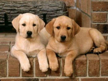 Депутаты обложат налогом домашних собак
