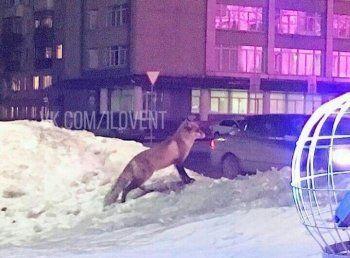 На главную площадь Нижнего Тагила прибежала лиса. Полиции поймать дикое животное не удалось
