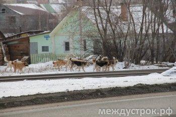 Фирма из Артёмовского не будет отлавливать собак в Нижнем Тагиле