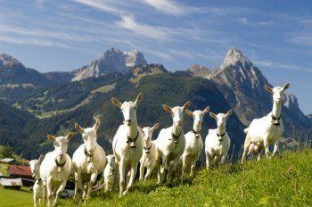 В Свердловской области будут делать французский сыр. Дойных коз за 290 миллионов рублей доставят на Урал этой осенью
