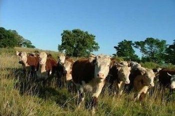 Минсельхоз объяснил необходимость лимита на поголовье скота в личных хозяйствах