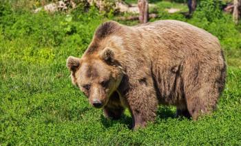 В садах под Первоуральском заметили медведя (ВИДЕО)