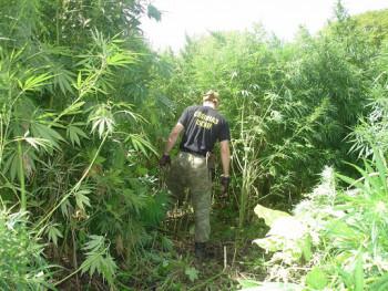 В Псковской области полицейские выращивали марихуану, чтобы подбрасывать её задержанным