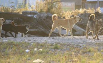 В Нижнем Тагиле чипированные бездомные собаки держат в страхе жителей Северного посёлка (ВИДЕО)