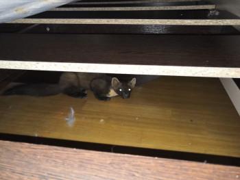В Нижнем Тагиле куница забралась в квартиру и попыталась загрызть кота