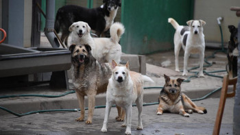 Директору МУПа в Среднеуральске грозит 5 лет из-за нападения стаи собак наребёнка