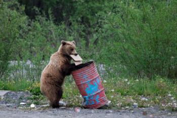 Жителей Нижнего Тагила предупредили об устремившихся в город из-за голода медведях
