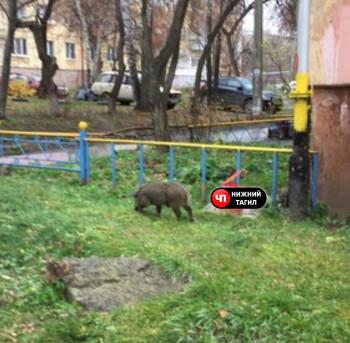 Жители Нижнего Тагила заметили в городе молодого кабанчика и зайца