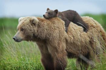 В Нижнем Тагиле медведь разрыл свежую могилу и съел покойника