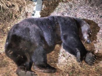 В Нижнем Тагиле застрелили медведя, который разрыл могилу на кладбище и съел труп