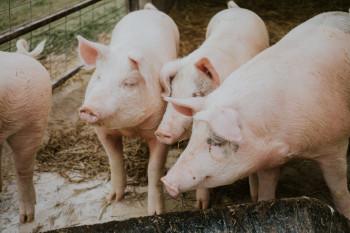 Заражённая африканской чумой свинина попала в Нижний Тагил из Тверской области