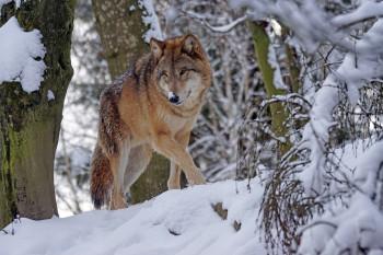 В Нижнем Тагиле разрешили отлов и отстрел волков с 3 марта