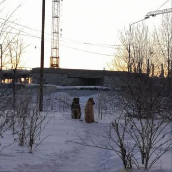 Мэрия Нижнего Тагила ищет компанию, которая займётся отловом бездомных собак