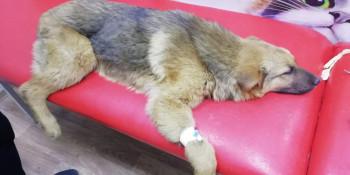 Щенок, которого в коллективном саду Нижнего Тагила переехал автомобиль, умер во время операции