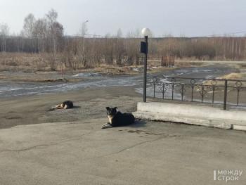 Мэрия Нижнего Тагила опять ищет компанию для отлова бездомных собак