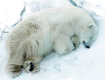 Прокуратура назвала причиной смерти белого медведя Умки в Екатеринбурге инсульт
