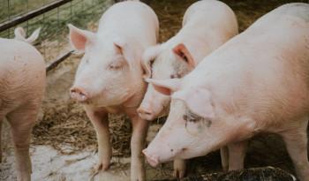 Из-за вспышки африканской чумы из колоний Нижнего Тагила изымают свиней