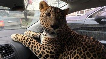 ВЕкатеринбурге таксист подвёз пассажира с живымлеопардом (ВИДЕО)
