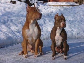Покусанная питбулями жительница Нижнего Тагила отсудила у хозяев собак 30 тысяч рублей