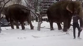 В Екатеринбурге из цирка сбежали два слона и пошли гулять по центру города (ВИДЕО)