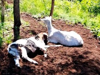 В Нижнем Тагиле бродячие собаки напали на стадо коз. «Одну загрызли насмерть, а двоих утащили в лес»