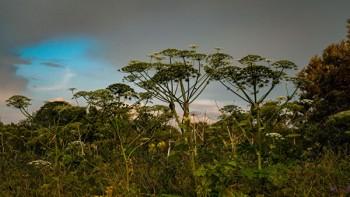 В Нижнем Тагиле будут бороться с борщевиком при помощи перемещения его в 4-метровую траншею