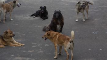 СК начал проверку по факту нападения стаи собак на ребёнка в Нижнем Тагиле