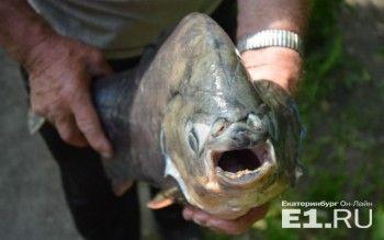Уральский рыбак поймал огромную пиранью